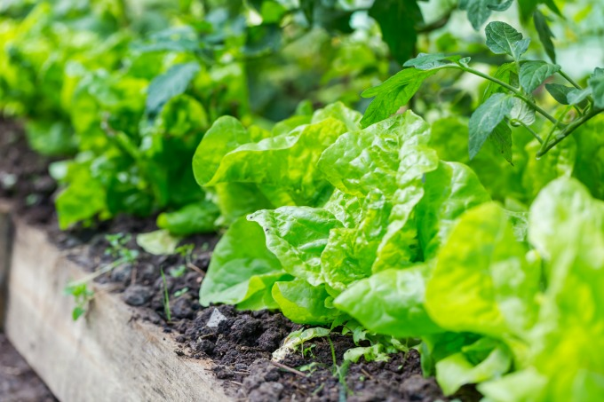 How to grow your own lettuce